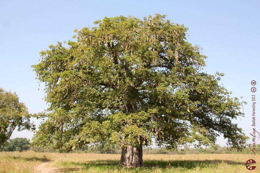 Les bienfaits de l'huile de baobab
