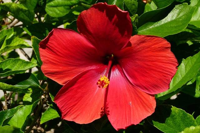 Hibiscus : une fleur bénéfique • Nappy N'ko : Conseils, astuces pour  cheveux crépus, frisés et ondulés au naturel !